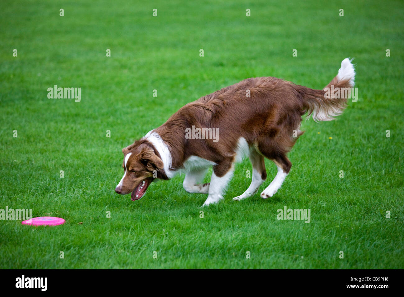 Border collie (Canis lupus familiaris) fetching frisbee in garden - Stock Image