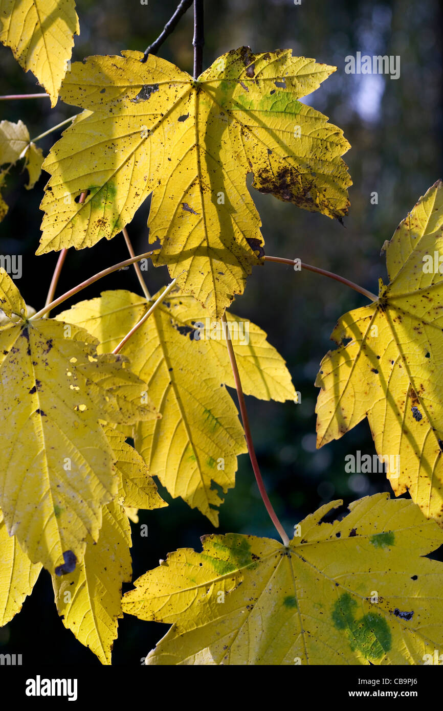 Maple leaves in autumn, Belgium - Stock Image