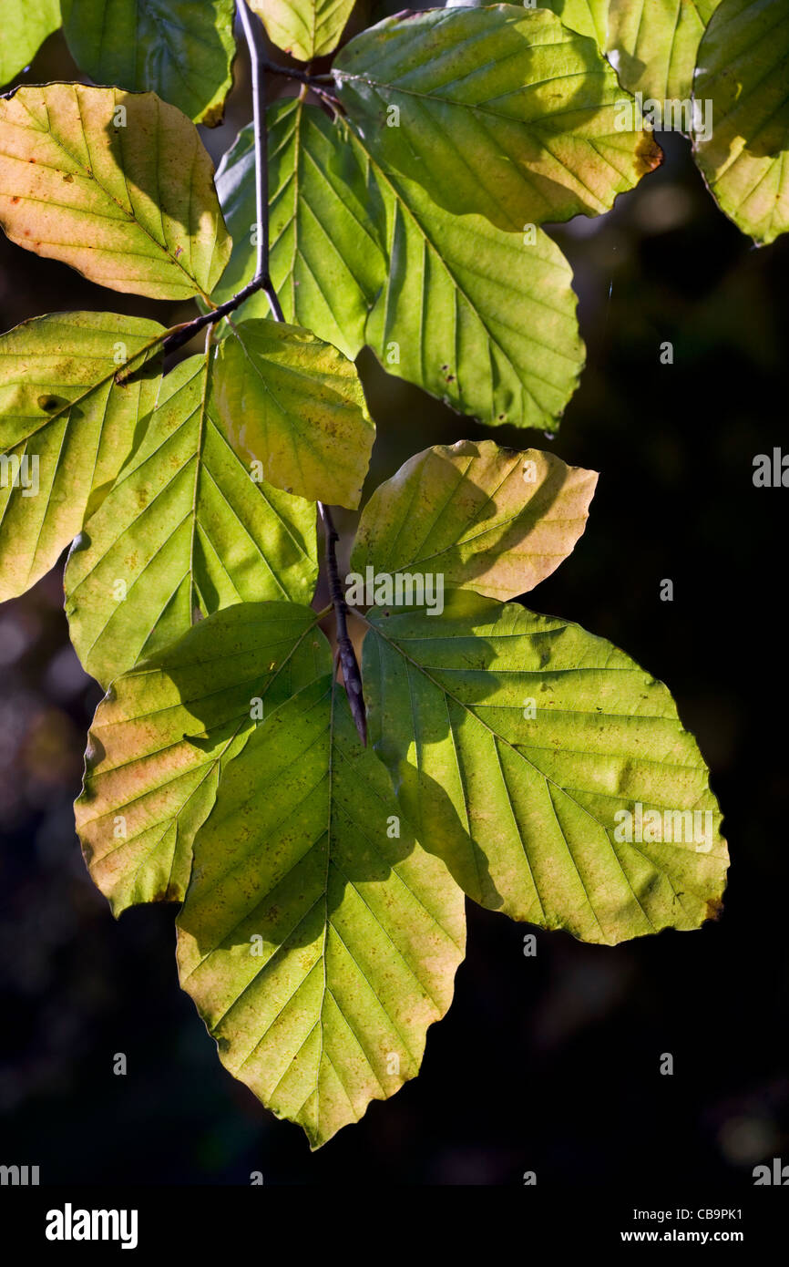 European beech (Fagus sylvatica) leaves in autumn, Belgium - Stock Image