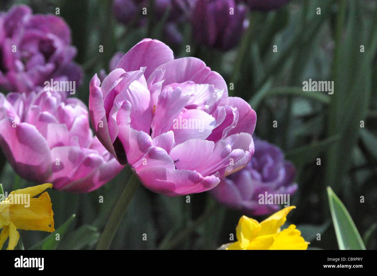 Tulpen im Frühling - Stock Image