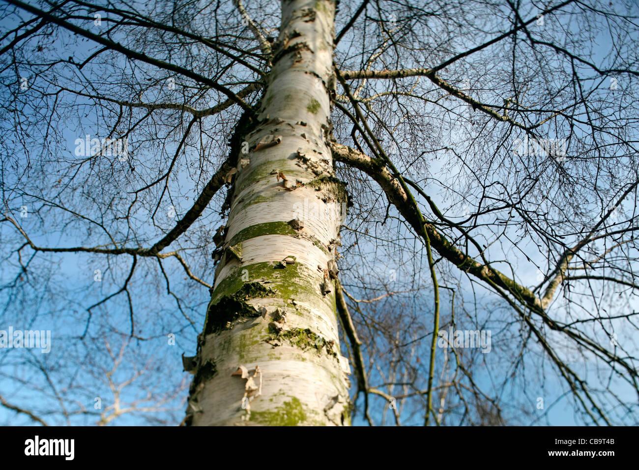 Himalayan Birch Betula Utilis Trunk Stock Photos Himalayan Birch