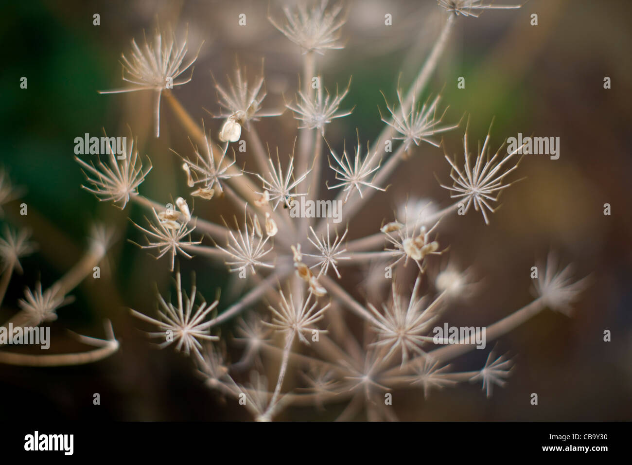 Flowerless Cow Parsley - Stock Image