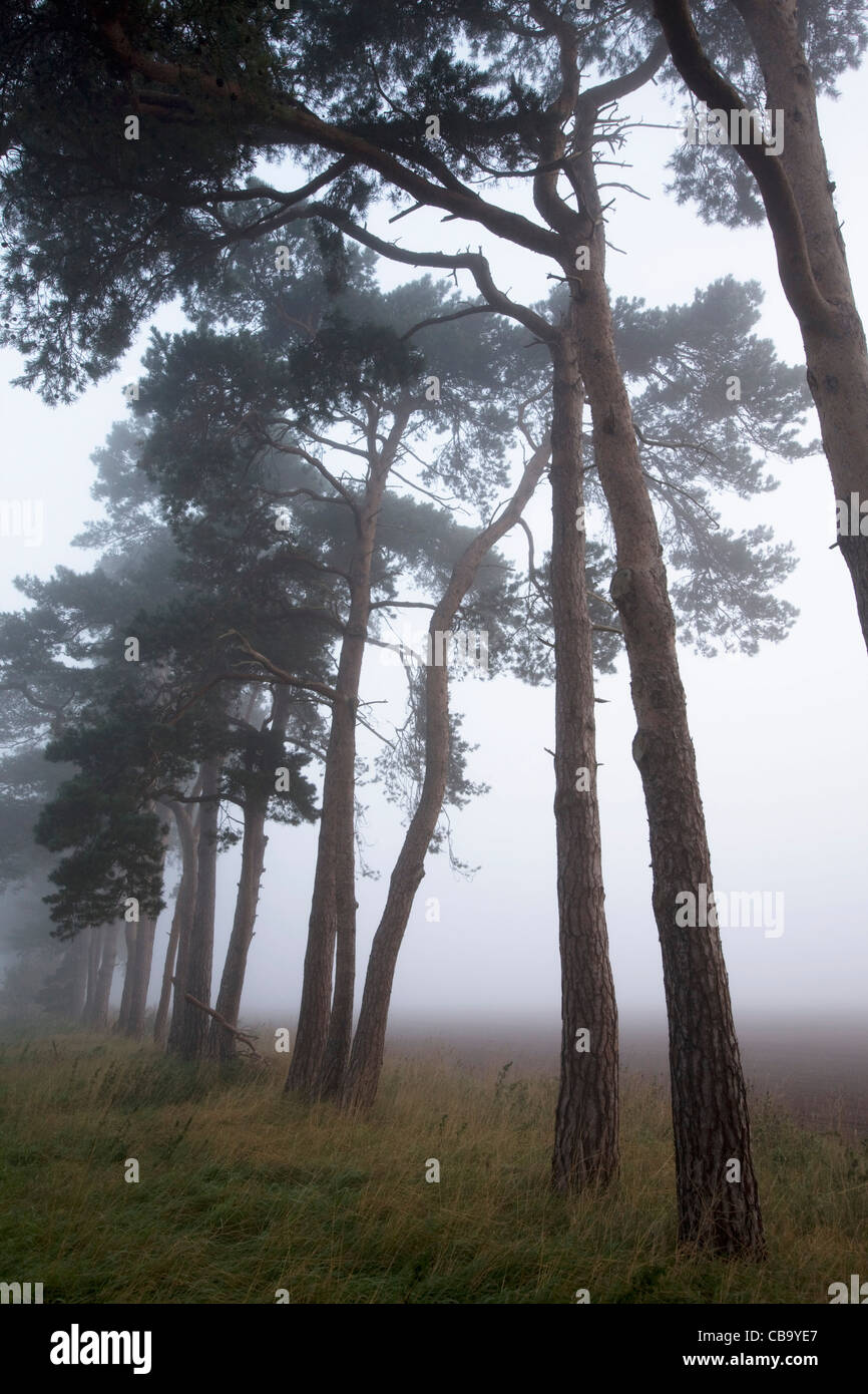 Thetford Forest at Dawn - Stock Image