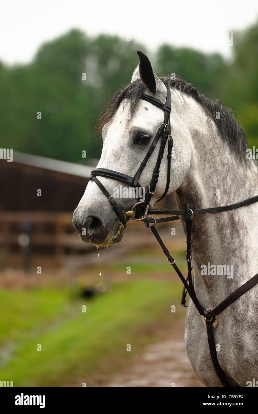 Evil Munchkin, eventing horse - Stock Image