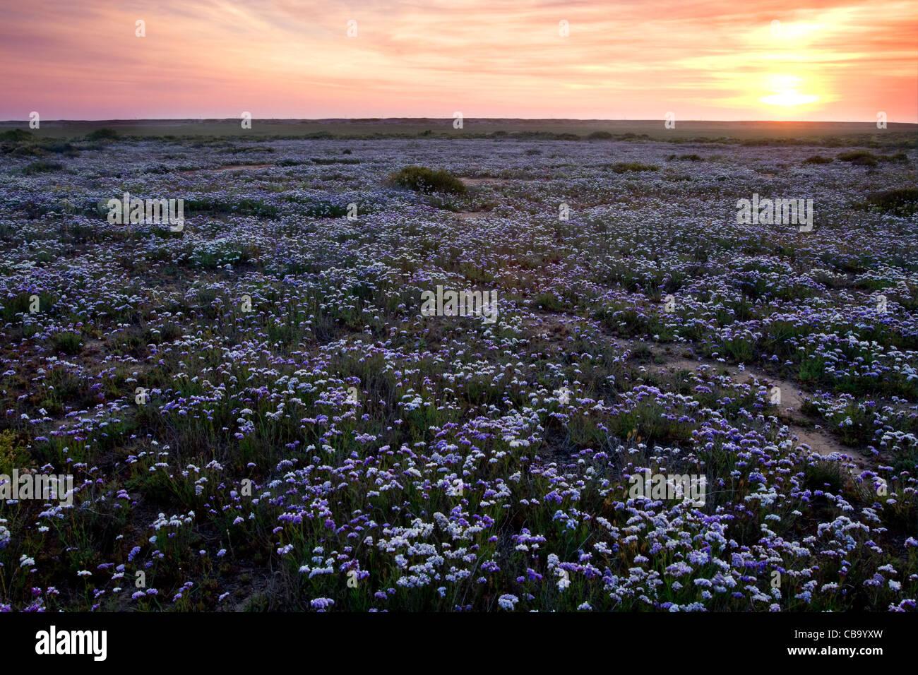 Wildflowers in bloom at sunset near Tijuana, Mexico. Stock Photo