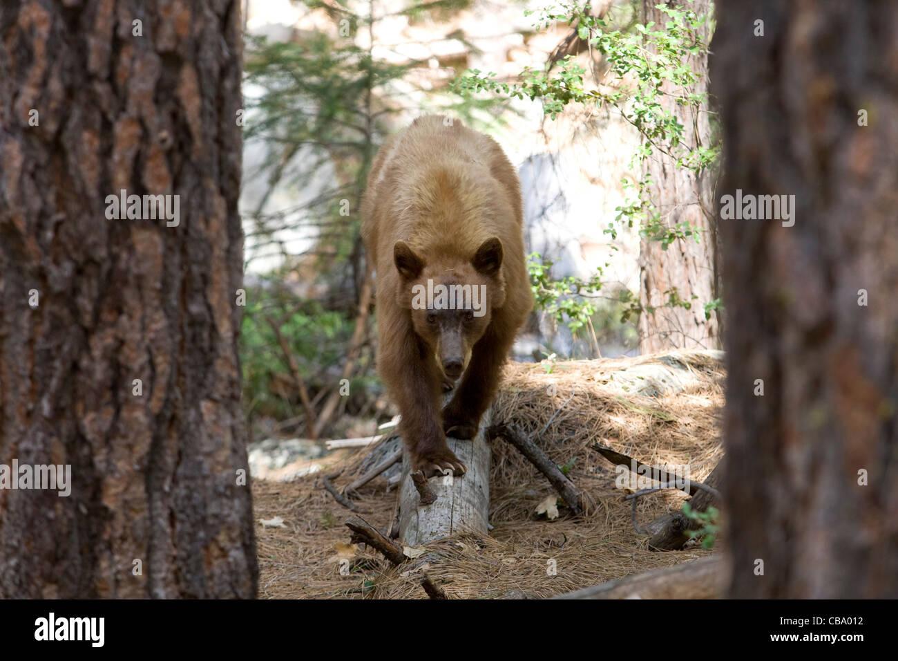 Black Bear, California Sierra Mountains - Stock Image