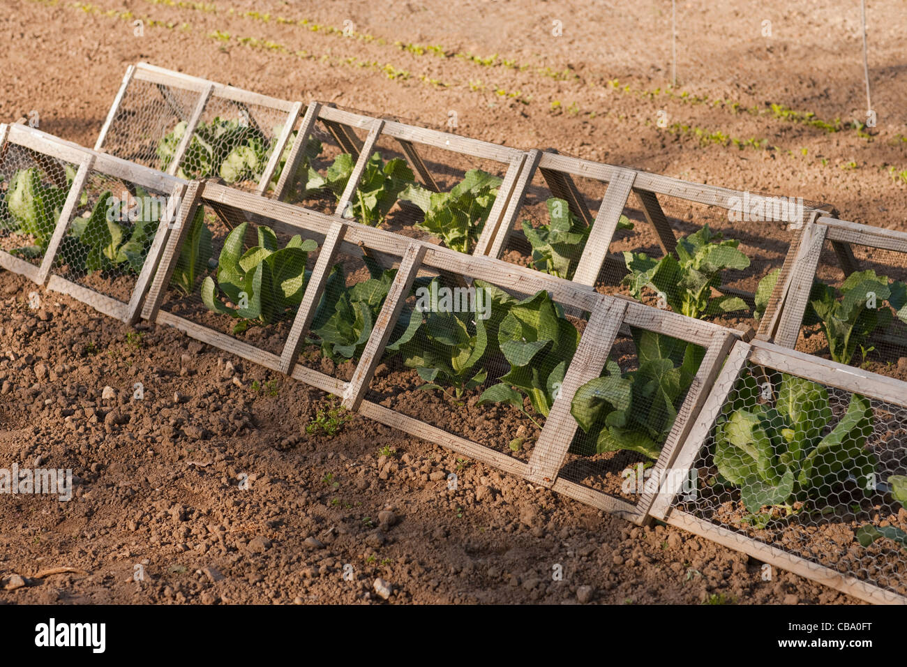 Allotment with cabbage plants protected by netting screens against pests Rabbits and White Butterfies preventing Stock Photo