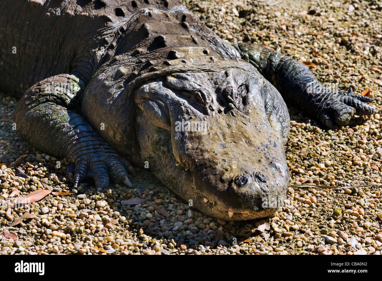 American alligator (Alligator mississippiensis), Homosassa Springs State Wildlife Park, Homosassa, Gulf Coast, Florida, - Stock Image