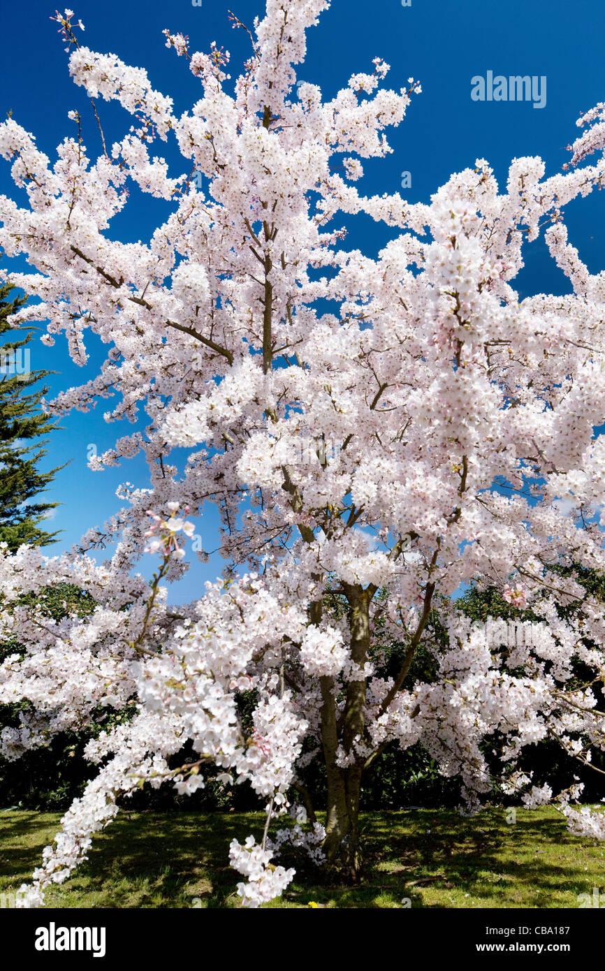 Ornamental Cherry Blossom Stock Photo