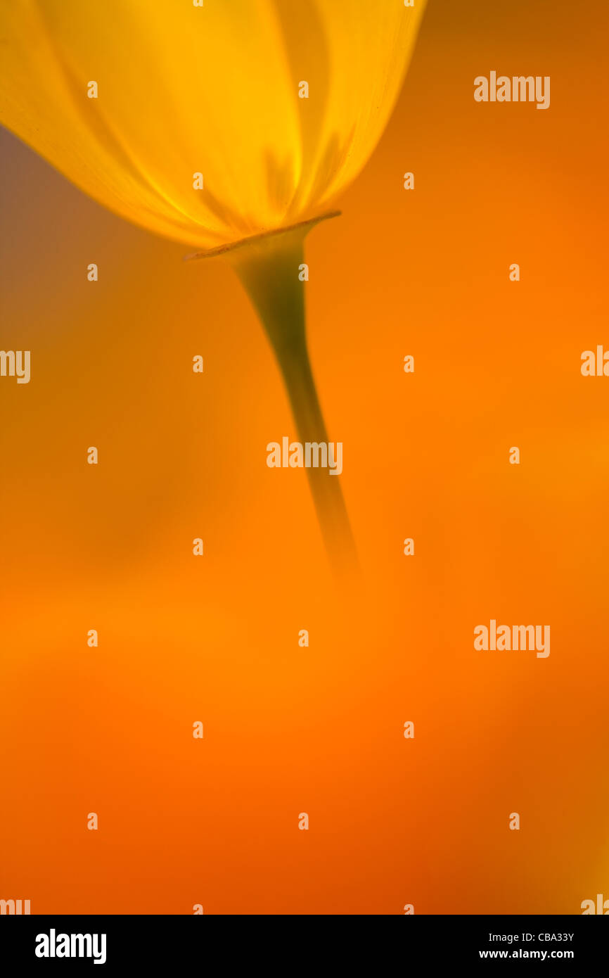 Closeup of a California Poppy in the spring - Stock Image