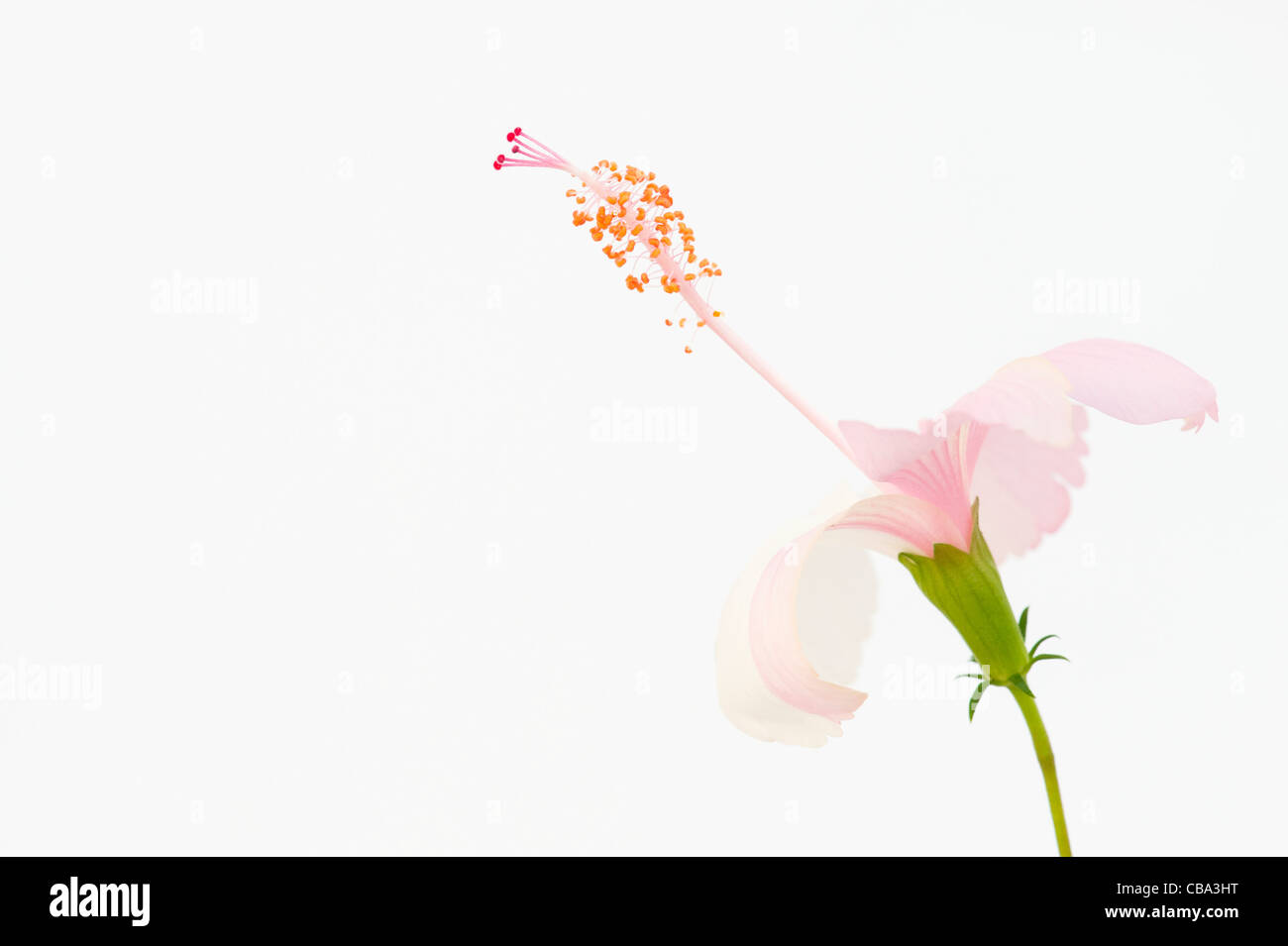 Hibiscus flower on white background - Stock Image