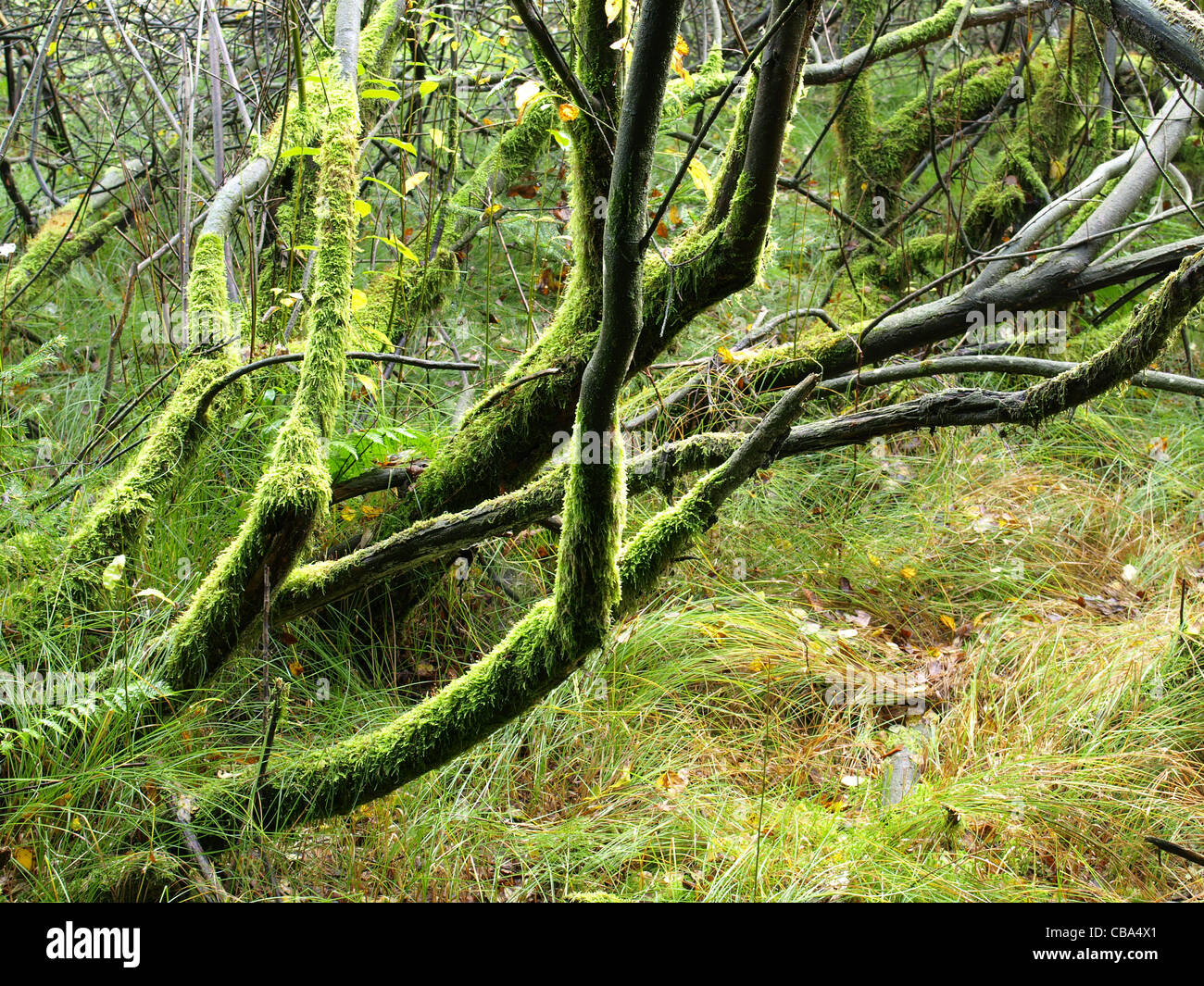 highmoor, hill moor, continental raised bag / Arracher Hochmoor / Bavarian Forest, Bavaria, Germany Stock Photo