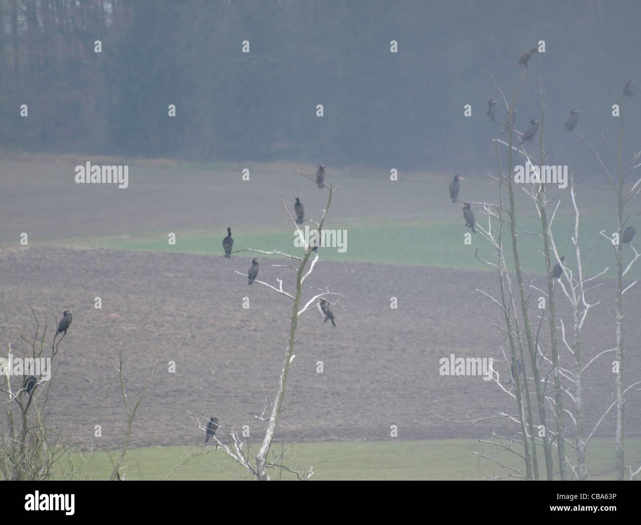 Great Cormorant on trees in fog / Kormorane im Nebel auf Bäumen sitzend - Stock Image