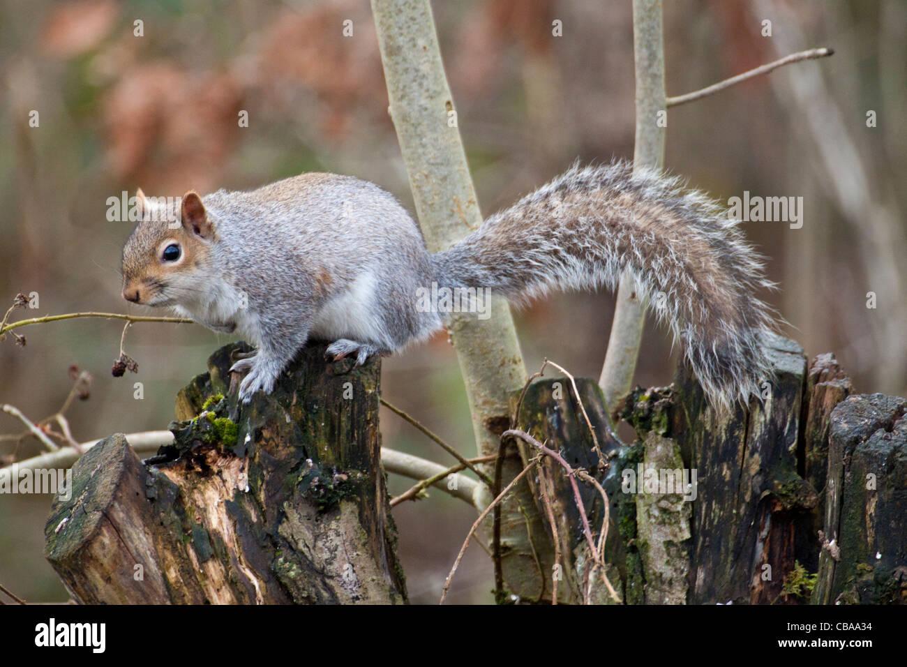 Grey squirrel in Autumn woodland - Stock Image