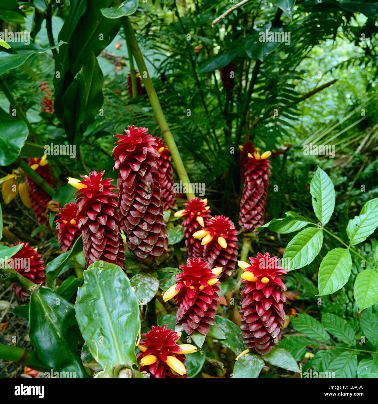 Pineapple ginger flowers big island hawaii stock photo 41415848 alamy pineapple ginger flowers big island hawaii izmirmasajfo