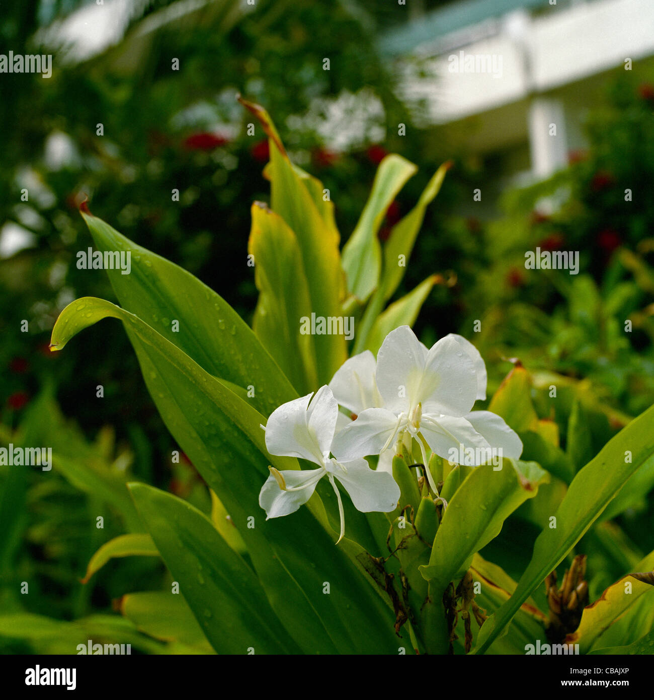 White Ginger Blossom Big Island Hawaii Stock Photo 41416334 Alamy