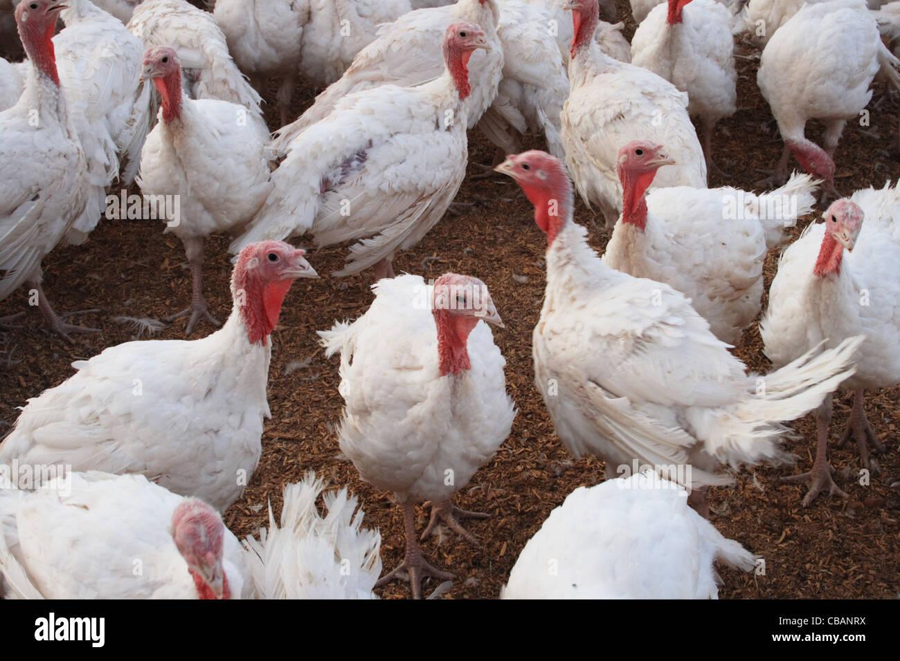 a flock of white turkeys in a turkey farm - Stock Image