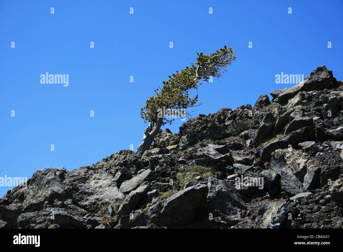 alpine pine tree above 11,000 feet on the San Francisco Peaks bent over by the wind and harsh weather - Stock Image