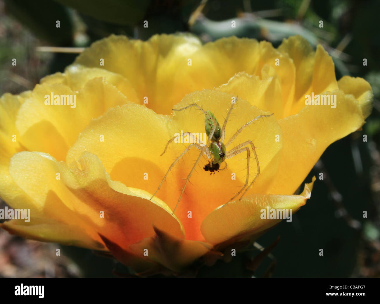 green lynx spider (Peucetia viridans) on yellow cactus flower eating a small insect Stock Photo