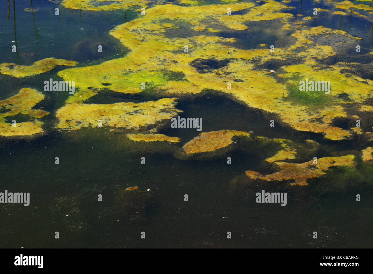 green algae mat grows on a pond surface - Stock Image