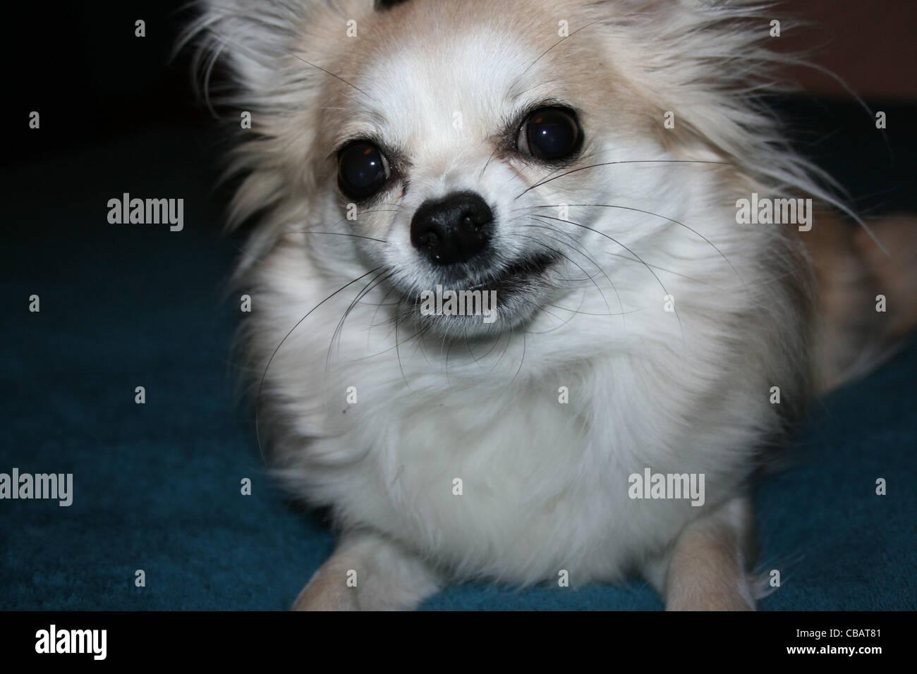Long hair Chihuahua or Mexican Dog close up - Stock Image