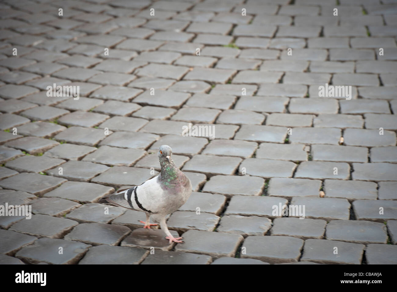 pigeon walking in streets of Rome - Stock Image