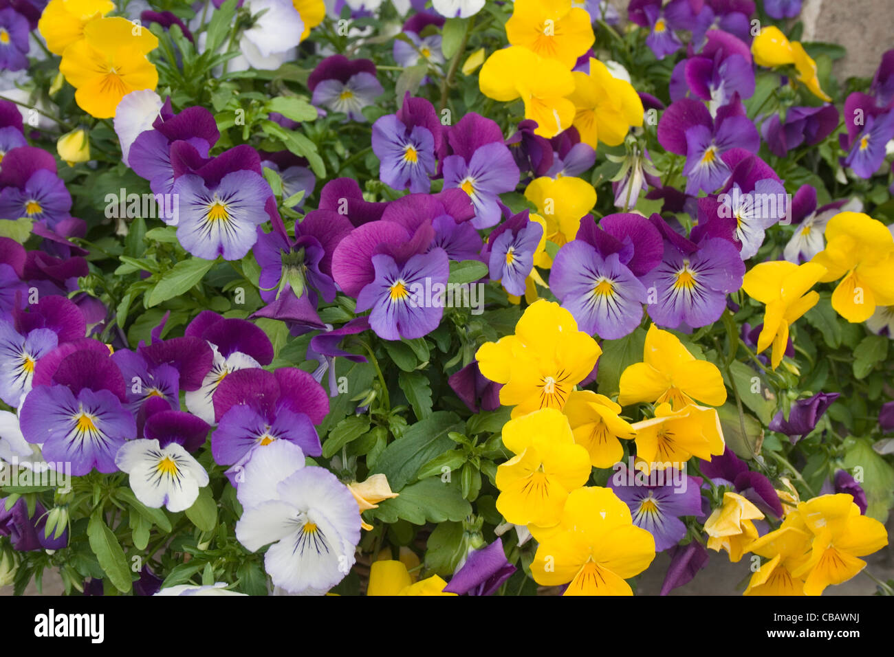 Lilac and yellow pansies. - Stock Image