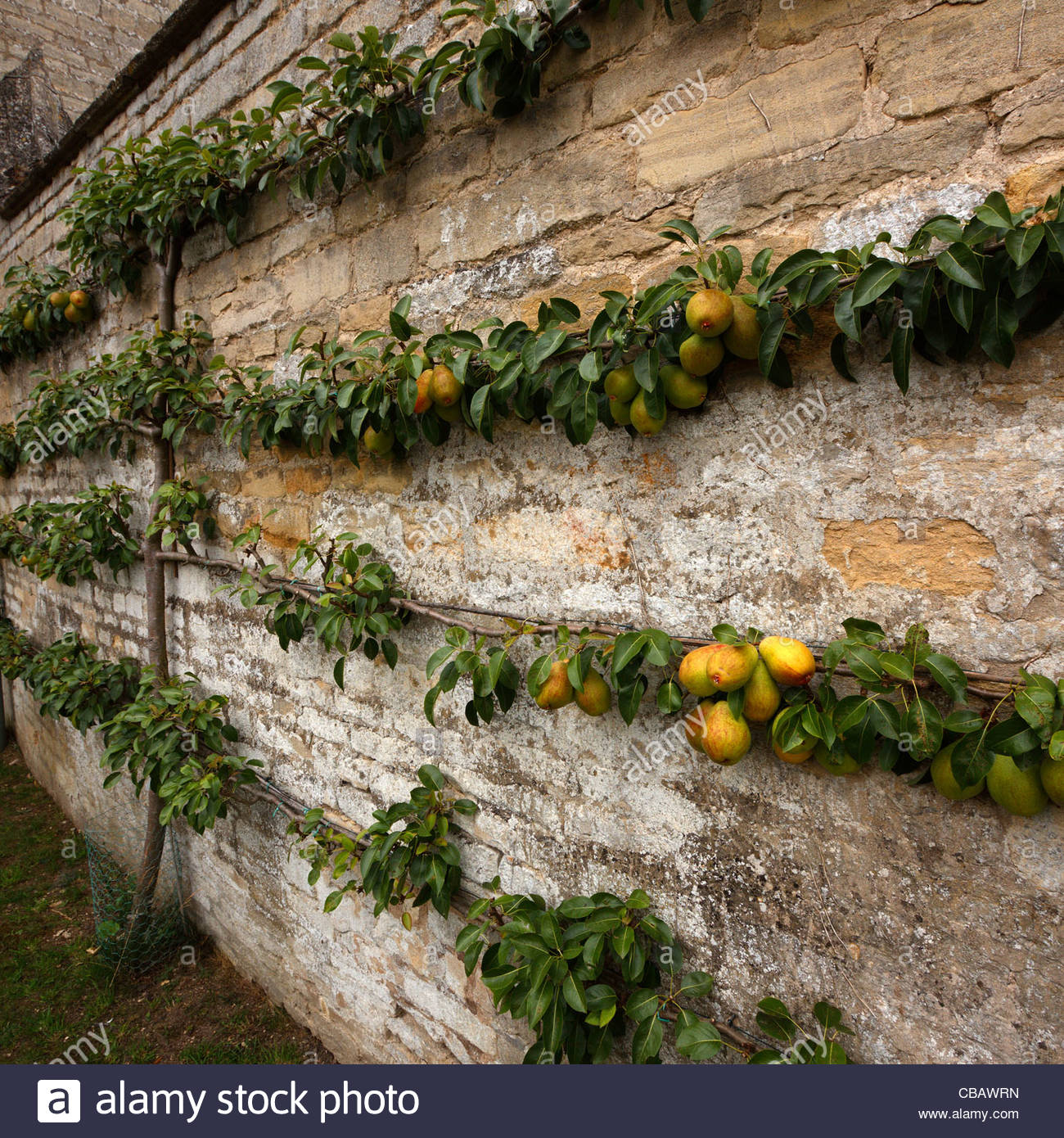 Espalier trained pear tree with fruit on cottage garden wall, Easton ...