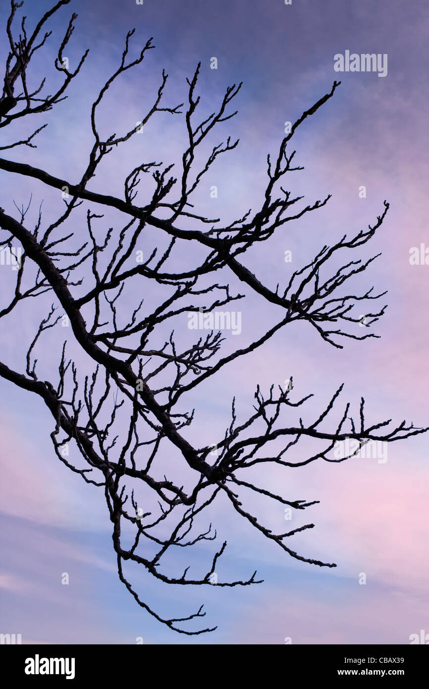Stark branches against evening sky. - Stock Image