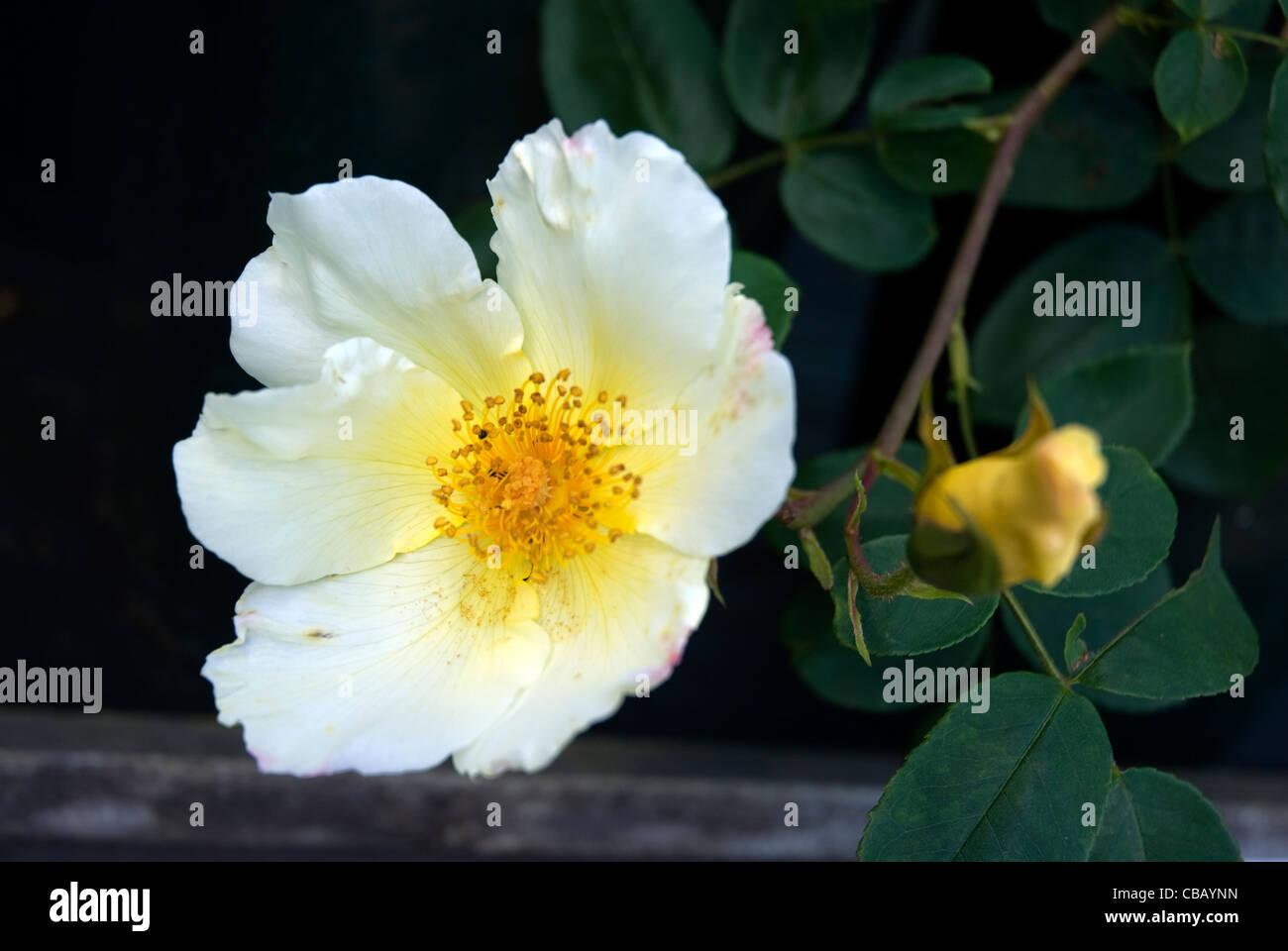 White flower with yellow centre shrub rose golden wings west white flower with yellow centre shrub rose golden wings west london england united kingdom mightylinksfo