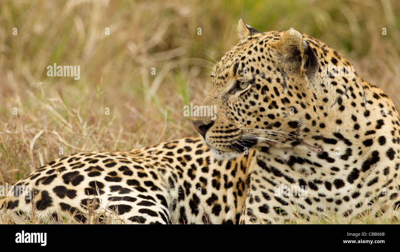 Amazing focused face by this Leopard (Panthera pardus). - Stock Image