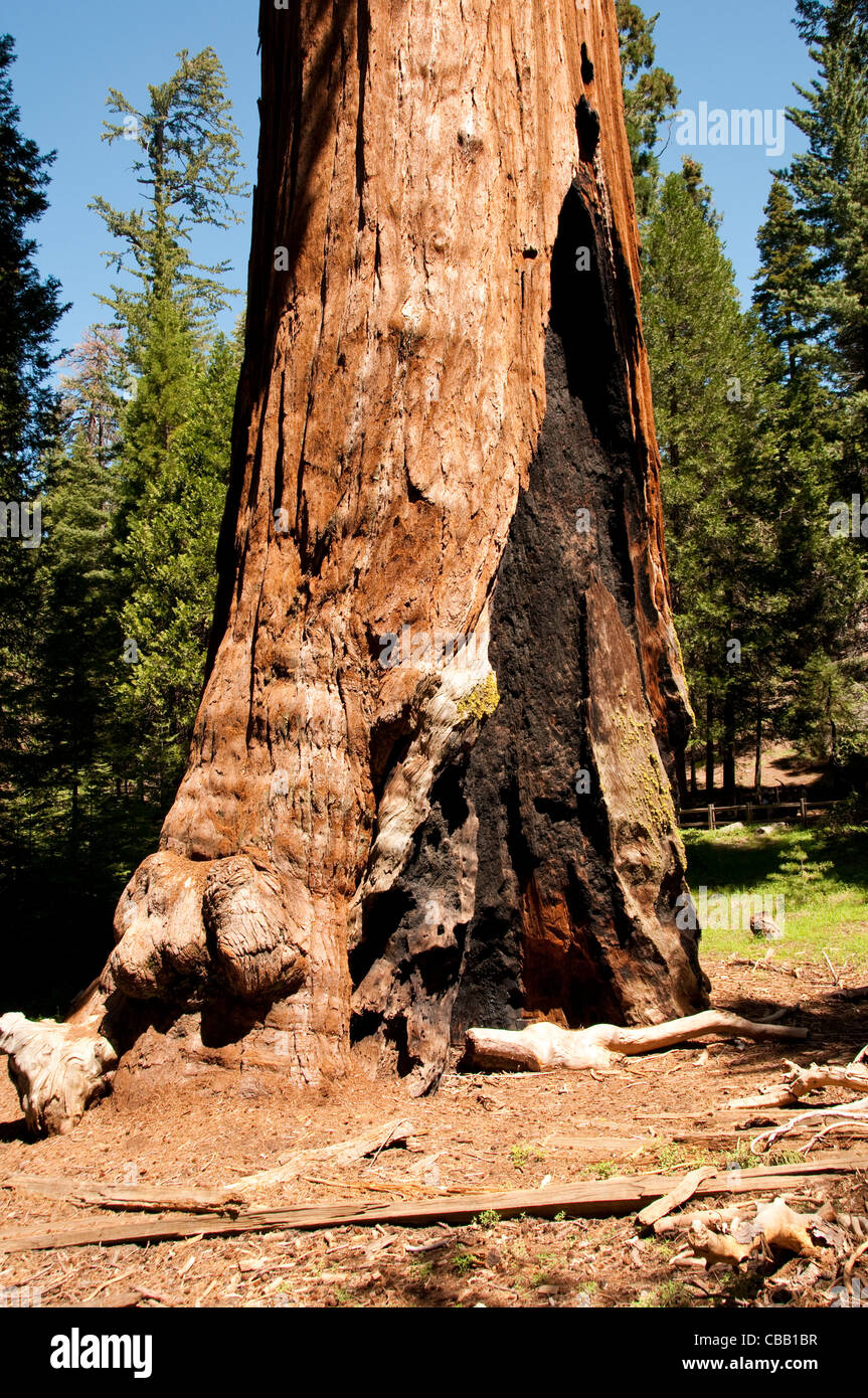 Fire scar on General Grant giant sequoia tree Kings Canyon National Park CA - Stock Image
