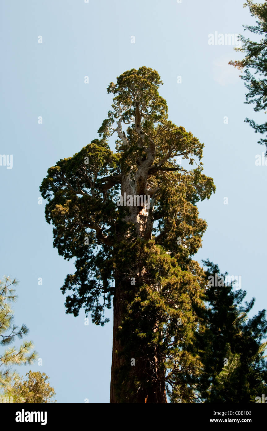 General Grant giant sequoia tree Kings Canyon National Park CA - Stock Image