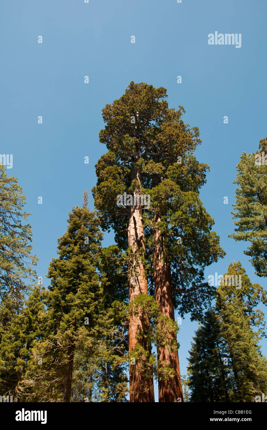 Grant Grove giant sequoia trees Kings Canyon National Park California - Stock Image