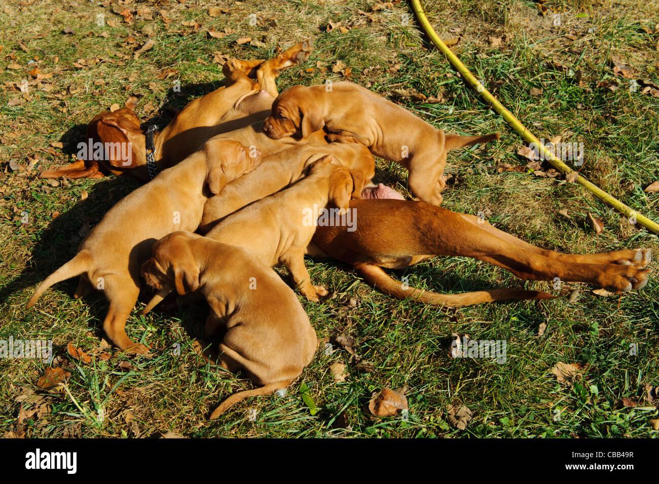 Stock photo of hungarian vizsla pups feeding of their mother - Stock Image