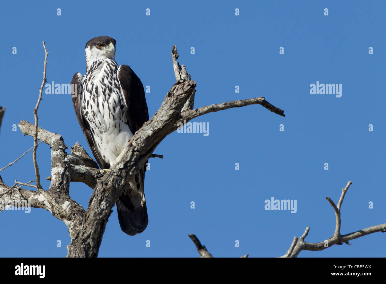 African Hawk-Eagle(Aquila spilogastra) With an amazing blue background. - Stock Image