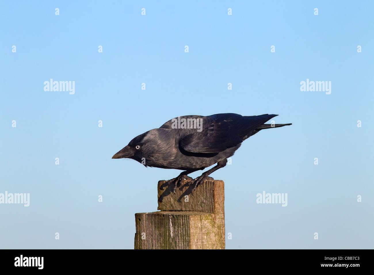 A single Jackdaw Corvus monedula perched on farm fence - Stock Image