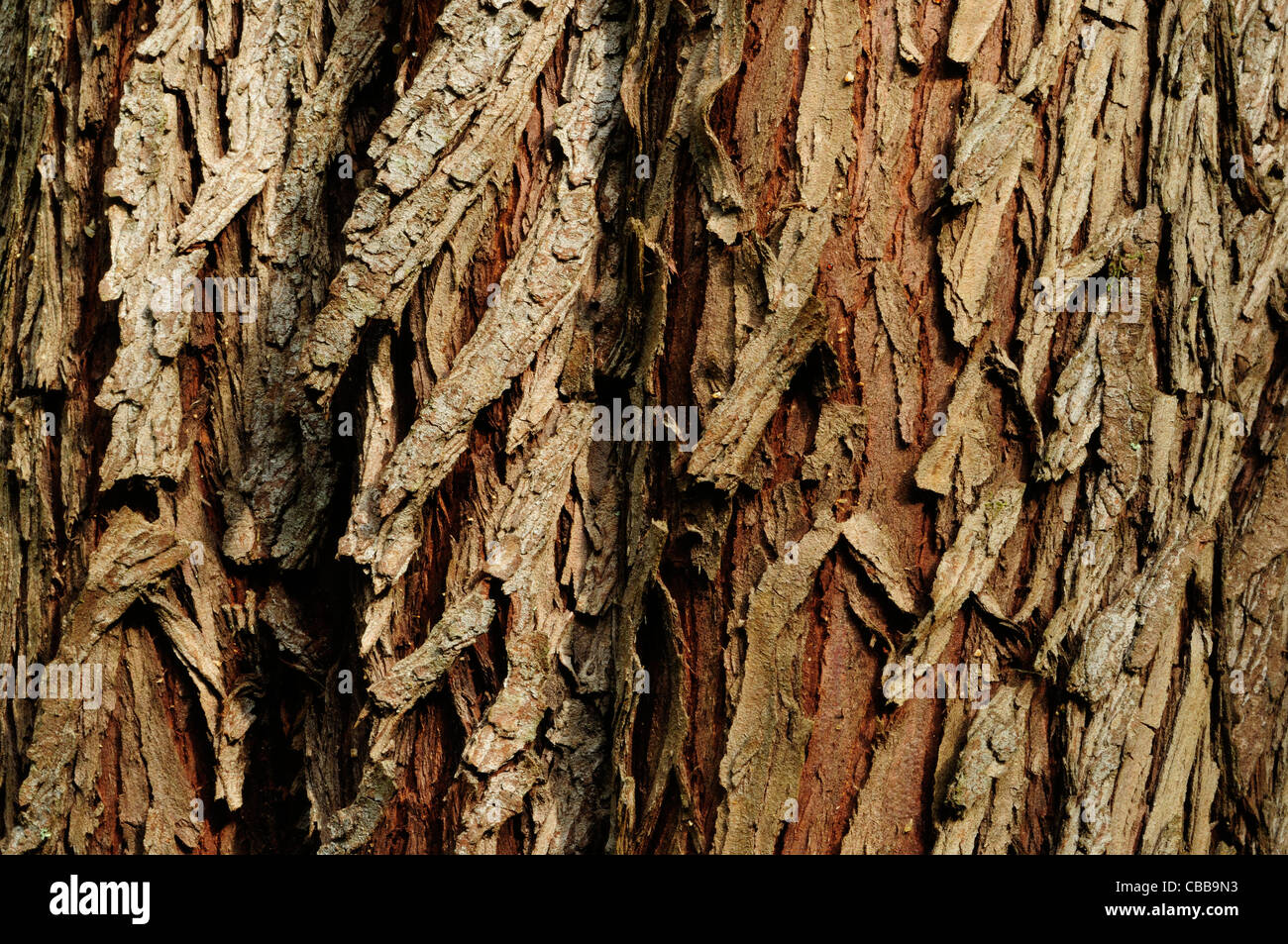Conifer bark - Stock Image