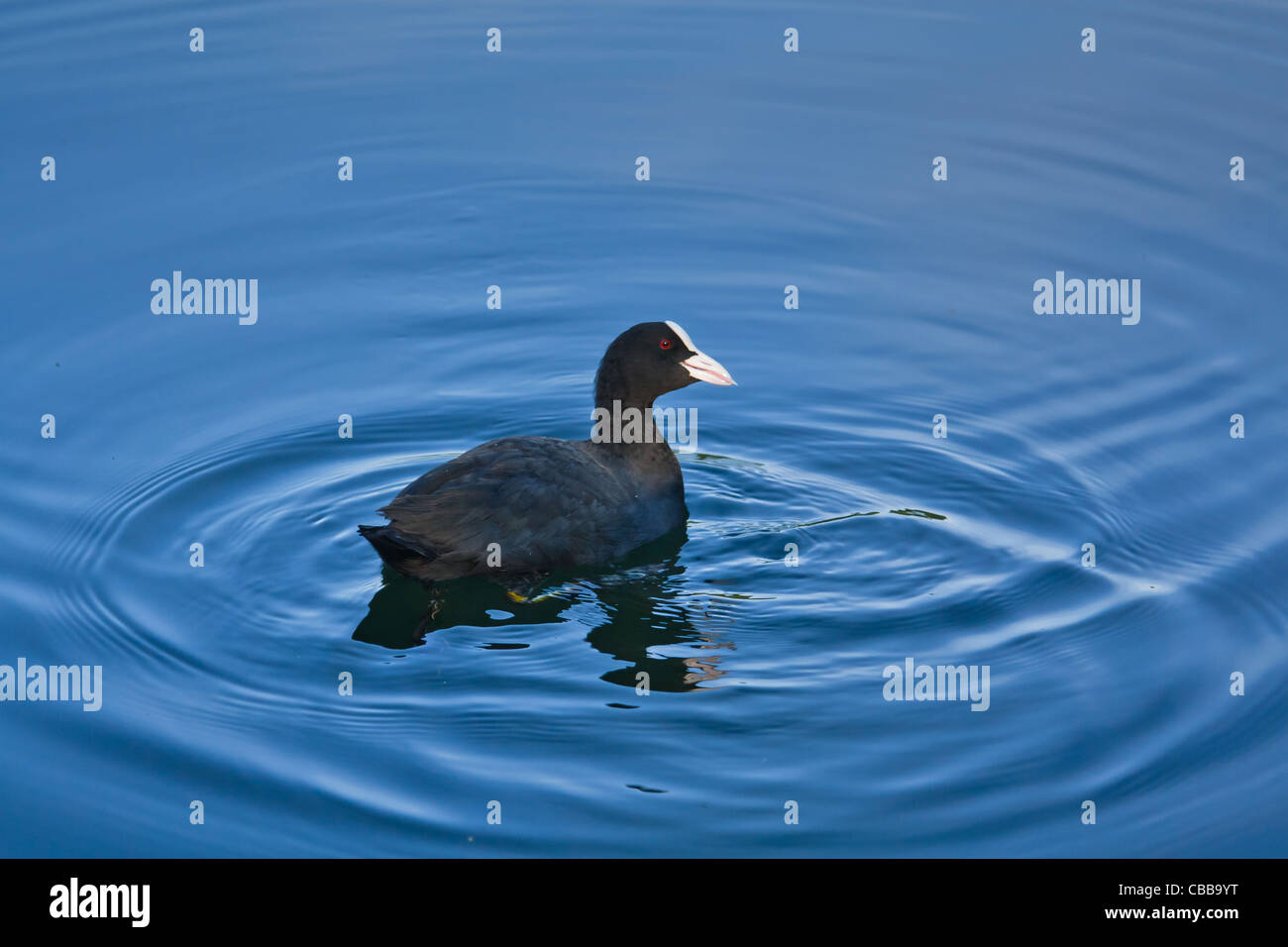 Eurasian Coot in the water. - Stock Image