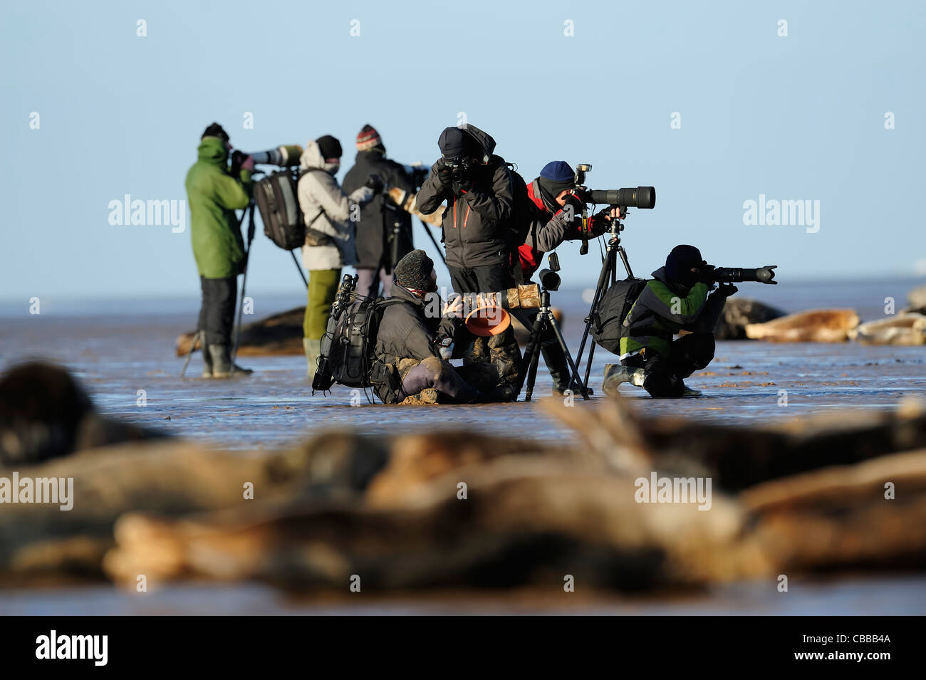 photographers in the midst of a seal colony - Stock Image