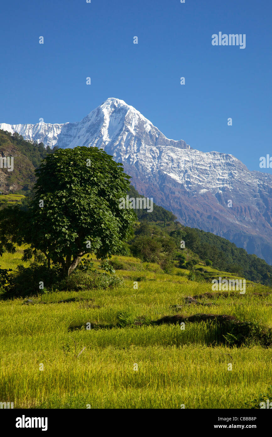 Rice fields and Annapurna, trek from Ghandruk to Nayapul, Annapurna Sanctuary Region, Nepal, Asia - Stock Image