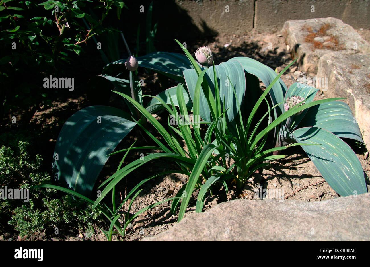 Garlic huge, Allium giganteum Regel, nature, flowers, plants (CTK Photo/Marketa Hofmanova) - Stock Image