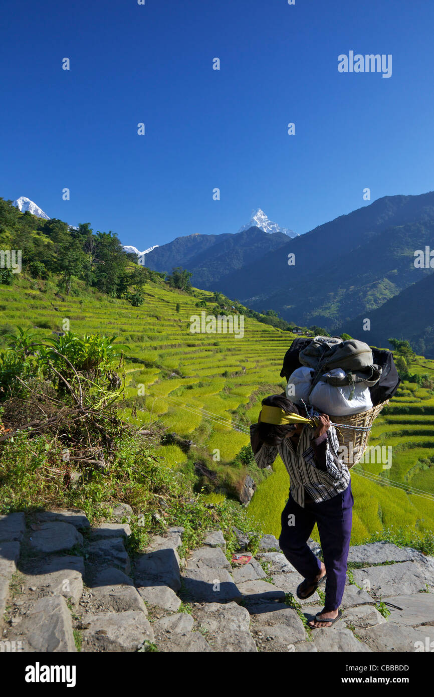 Nepali Porter carries heavy load up trail from Nayapul to Ghandruk, with Annapurna and  Machhapuchhare, Fish Tail, - Stock Image