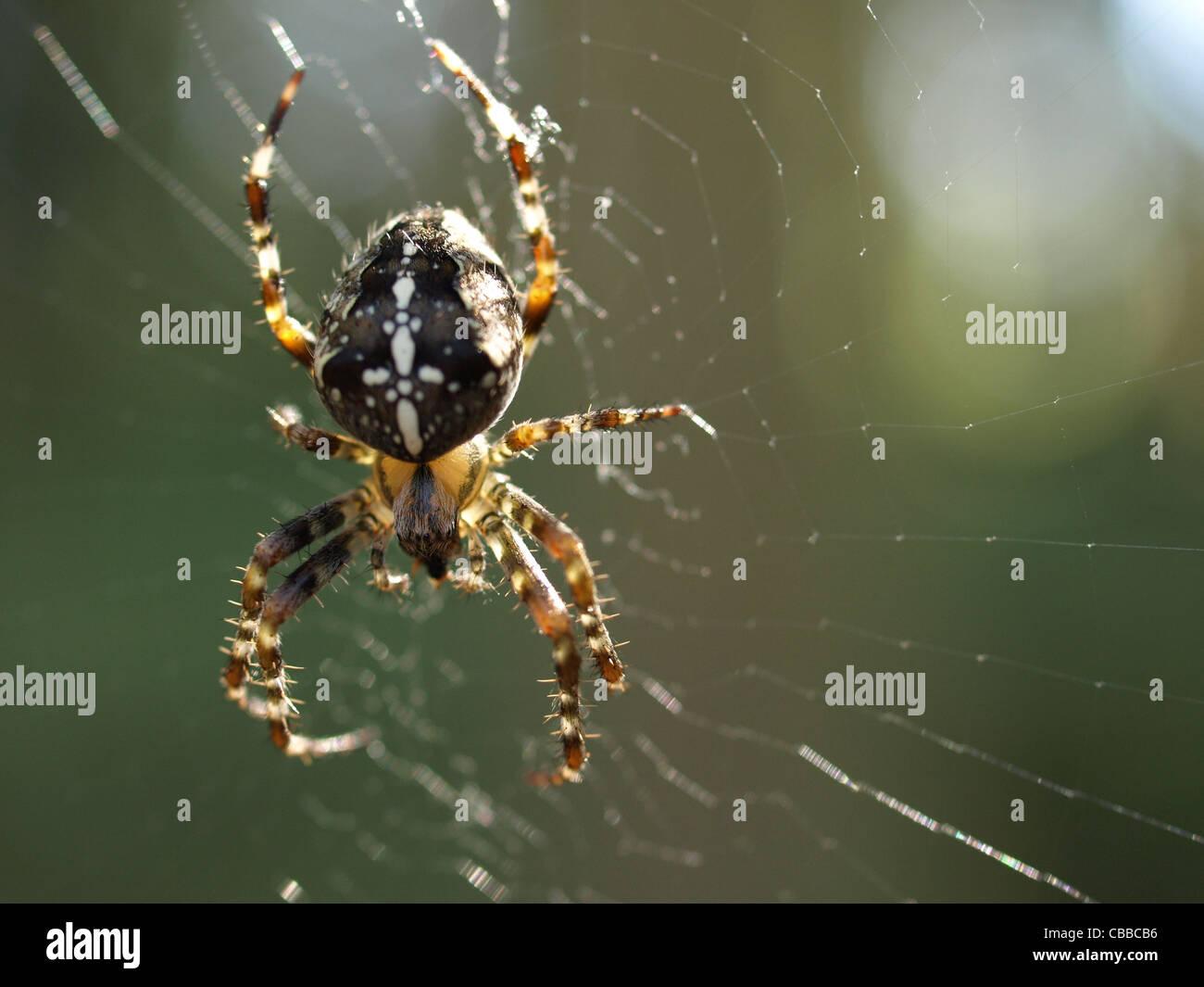 European garden spider / Araneus diadematus / Gartenkreuzspinne - Stock Image