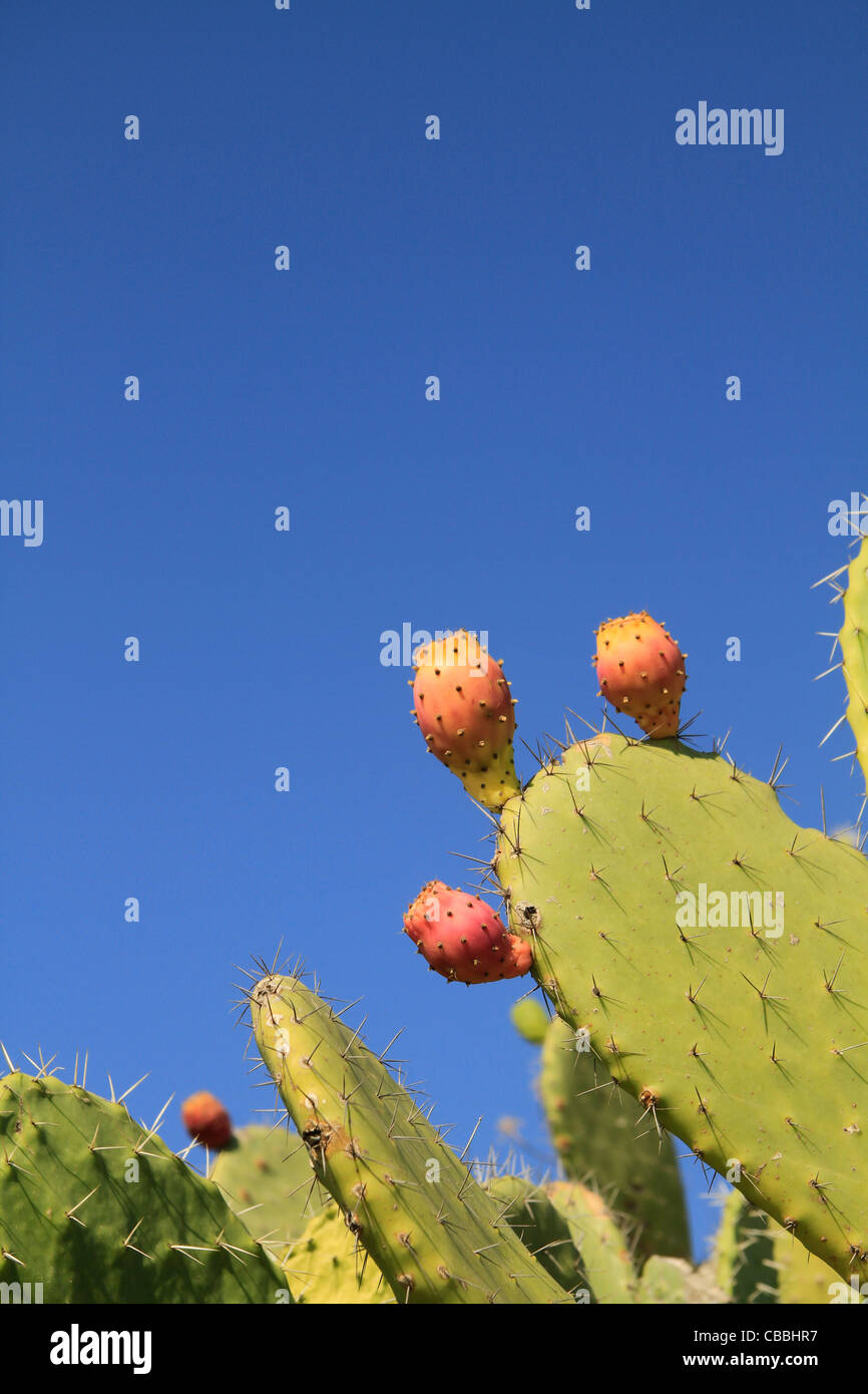 Israel, Lower Galilee, Prickly Pear on Mount Precipice Stock Photo
