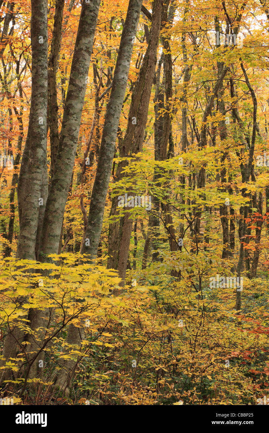 Autumn Leaves of Beech Forest at Mount Daisen, Daisen, Tottori, Japan - Stock Image