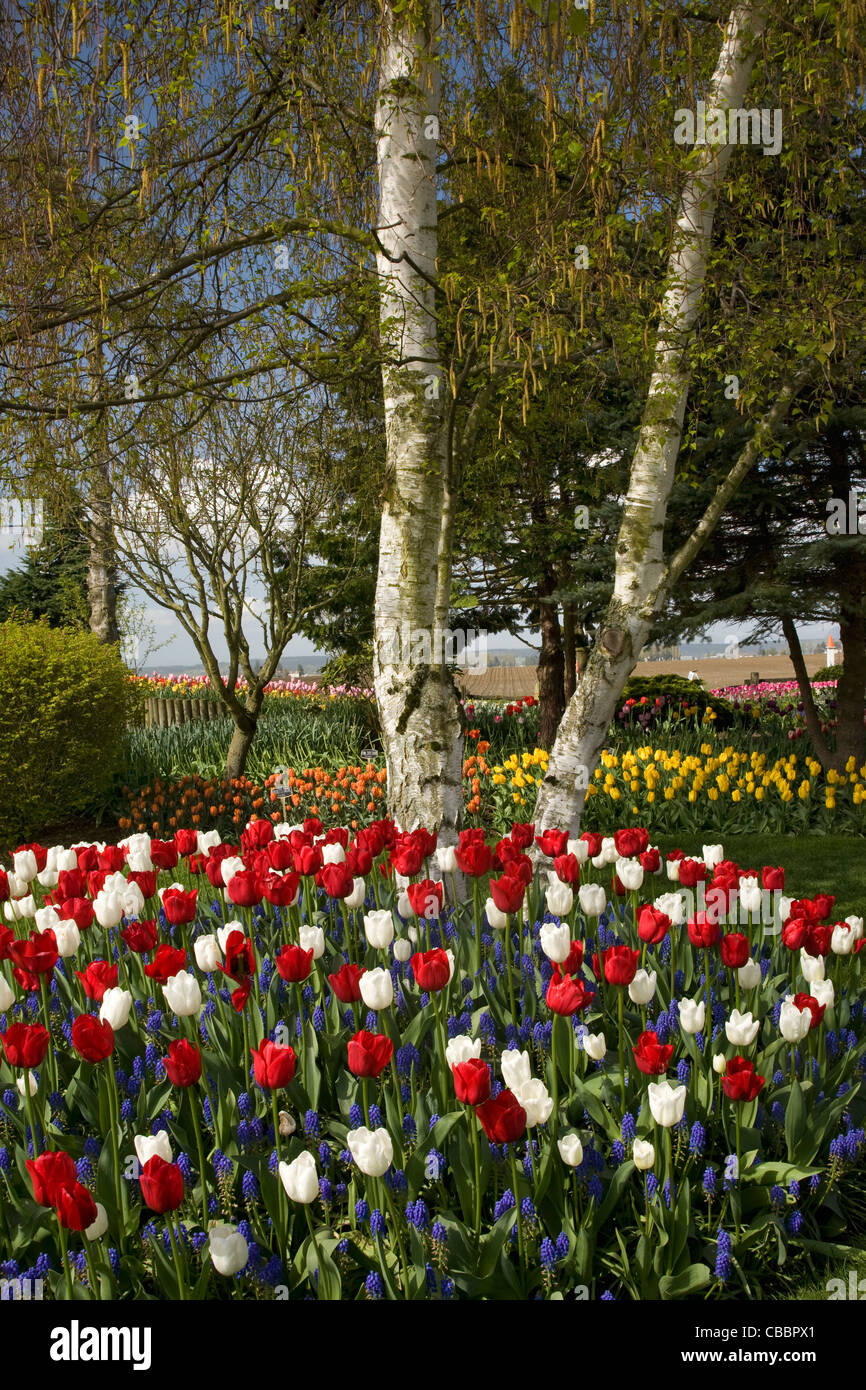 Red and white and blue display of tulips and hyacinths in the Stock ...