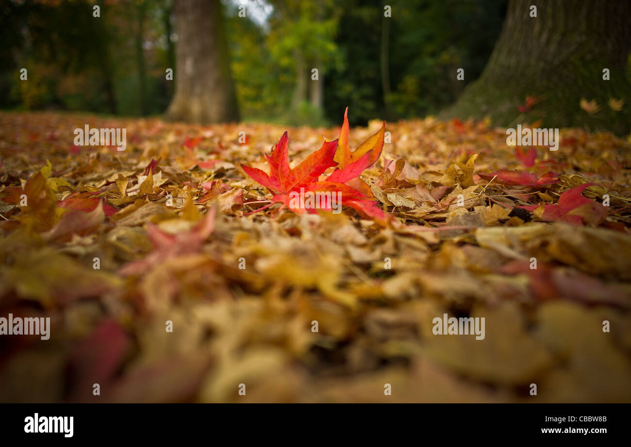 The tree and its neighbours Autumn, Liquidambar leaves of the Bois de Boulogne,In the midst of his own. - Stock Image