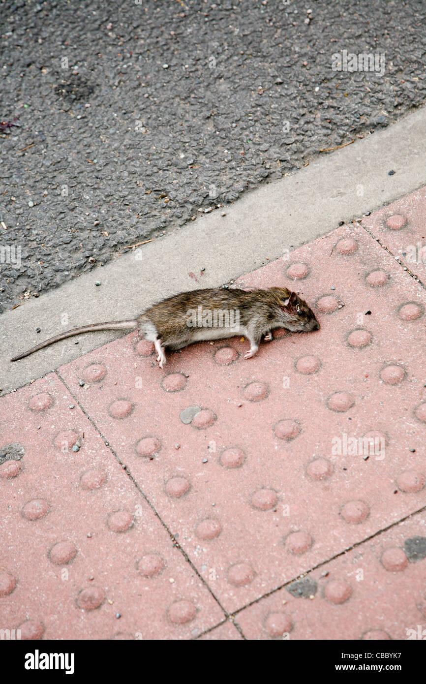A dead rat lies on the edge of a kerb near a pedestrian crossing. - Stock Image