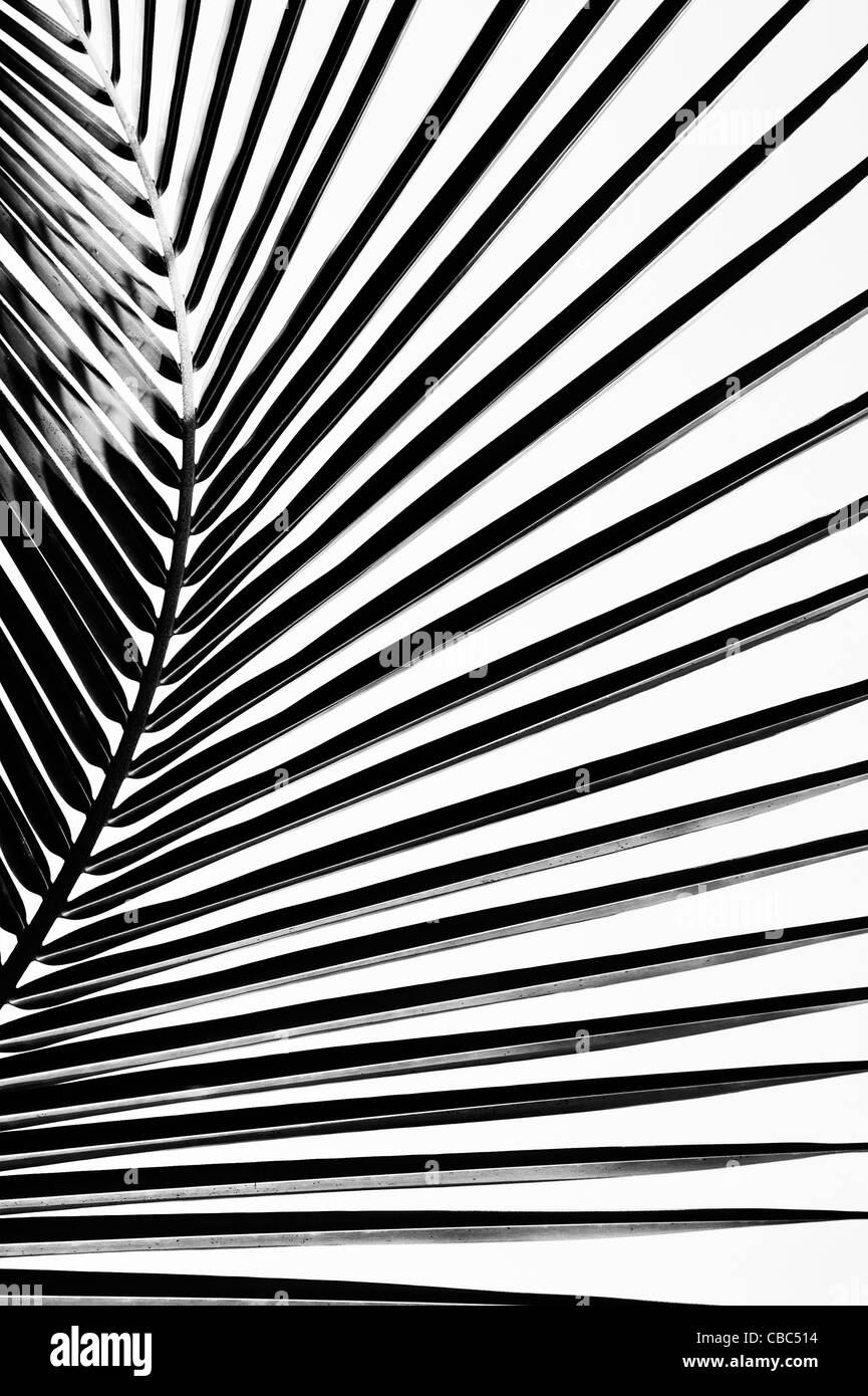 Coconut palm tree leaf pattern. India. Black and White Stock Photo